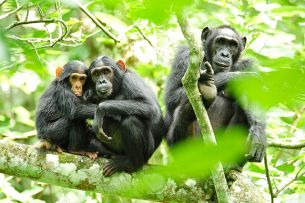 640px-Chimpanzees_in_Uganda_(5984913059)