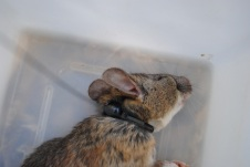 Collared woodrat recovering from anesthesia.