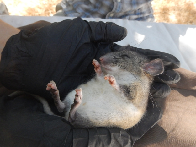 Woodrat_AnesthetizedforCollaring